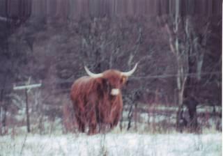 highlandbeef.JPG